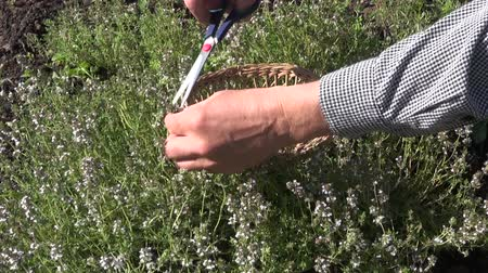 mar : Gardener herbalist collecting flowering thyme in herb garden with scissors Vídeos