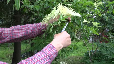 mürver : Herbalist collecting flowering medical elder bush blossoms with scissors Stok Video