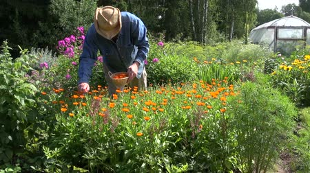 calendula officinalis : Herbalist wearing straw cowboy hat collecting calendula in the garden on sunny summer day