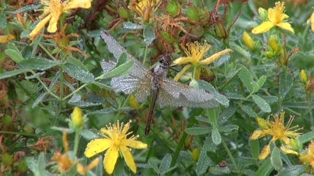wort : Dragonfly on St Johns Wort covered in dew in the meadow on autumn morning
