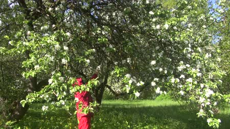 pulverização : Gardener spraying flowering apple tree with pesticides on sunny May day