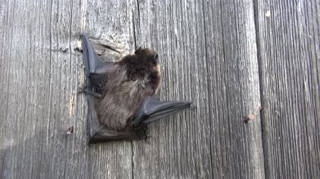 northen : Northen bat Eptesicus nilssonii climbing on grey textured old wooden farm wall Stock Footage