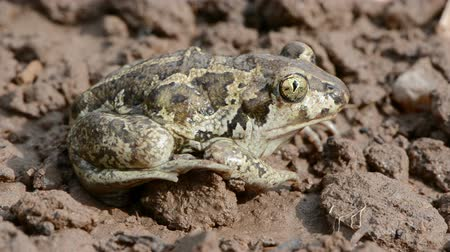elusive : Common spadefoot Pelobates fuscus sitting on the clay ground