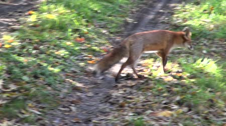 лиса : Friendly red fox Vulpes vulpes walking about in nature
