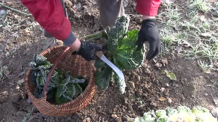 gömbölyű : Gardener harvesting frozen savoy cabbages in late autumn Stock mozgókép