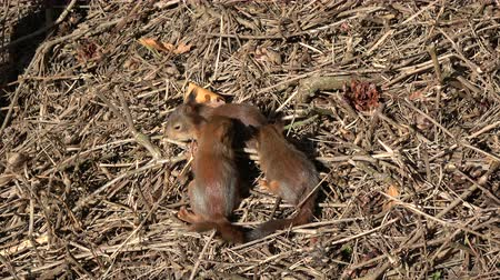 sciurus vulgaris : Three young beautiful red squirrels in park on ground