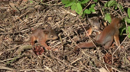 sciurus vulgaris : Three young beautiful red squirrels playing in park on ground