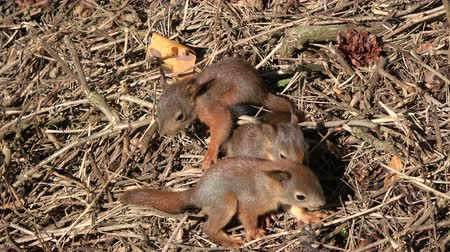 sciurus vulgaris : Three young beautiful friendly red squirrels playing in park on ground Stock Footage
