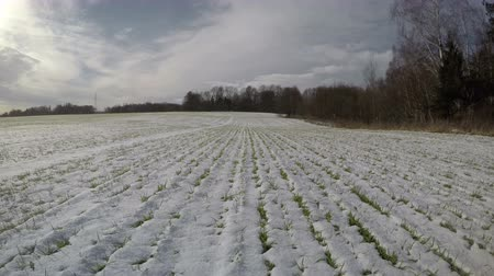 agrarian : Wheat field in winter end and green sprouts in snow, farmland landscape, time lapse 4 K