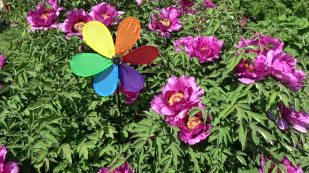 piwonia : Rainbow colors decorative windmill toy near blossoming peony bush in spring, many bees and birds songs