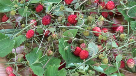 antioxidant : Rotating harvested fresh wild strawberries berry and herbs for tea