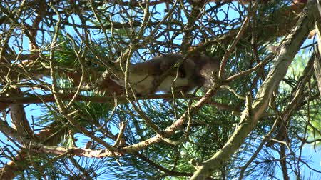 wiewiórka : Mammal Red squirrel Sciurus vulgaris mating ritual in spring forest on old pine tree