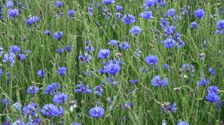 chabry : Many blue cornflowers in green young wheat field and wind