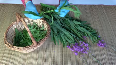 homeopati : Herbalist picking leaves from medical herb fireweed ivan-tea Epilobium angustifolium on table