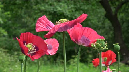 fragrances : Beautiful decorative red poppy blossoms in garden