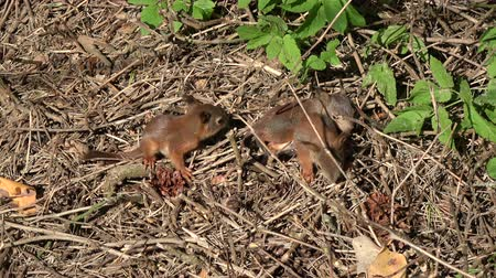 squirrel : Three young  friendly red squirrels  in park on ground