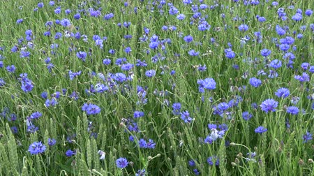 scented : Wind in wheat field with many blue cornflowers, agriculture nature background