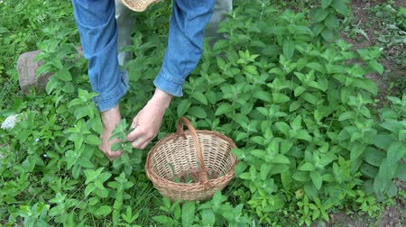 condimento : Gardener herbalist picking fresh mint herb in midsummer garden