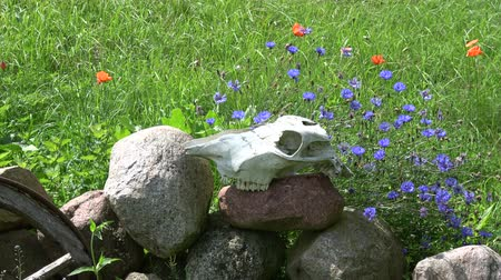koňský : Horse skull cranium on stones in farm and wind in cornflowers