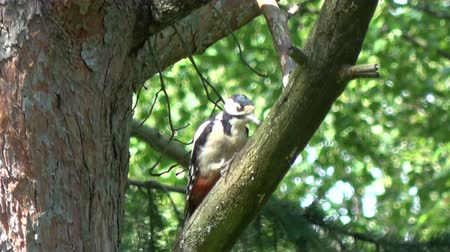 knocking : Great spotted woodpecker in summer pine tree