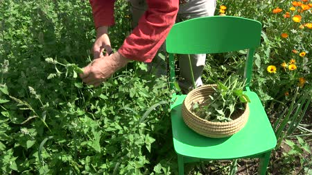 melisa : Gardener herbalist picking fresh medical lemon balm mint plants in summer Stok Video