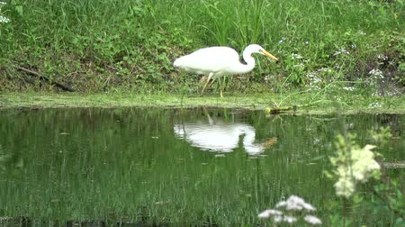 ardea : Lonely great white heron Egretta alba hunting  on  lake pond coast
