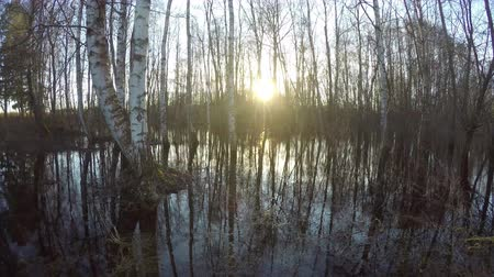 túlcsordulás : Sunset in spring birch forest with water flood, time lapse 4K