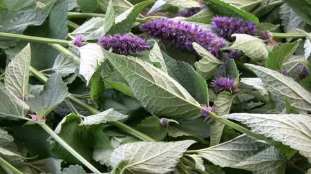 homeopathic : Fresh Anise hyssop Agastache foeniculum rotating medical herb blossoming background