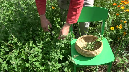 melissa officinalis : Herbalist picking fresh medical lemon balm mint plants in summer garden