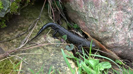 cristatus : Great crested newt Triturus cristatus crawling in spring Stock Footage