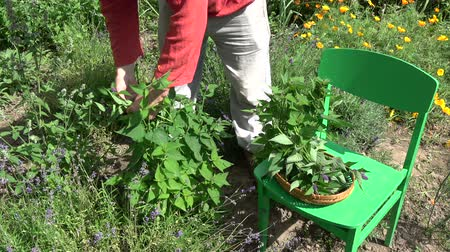 homeopati : Gardener  herbalist picking Fresh Anise hyssop Agastache foeniculum Stok Video
