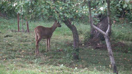 jikry : Mammal roe deer eating fresh apples in summer end farm garden