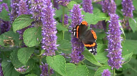 homeopati : Beautiful butterfly red admirol and bumblebee on blossoming anise hyssop flowers Stok Video