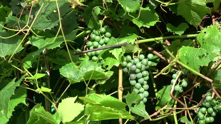 unripe : Unripe grapes clusters and leaves background in summer wind motion