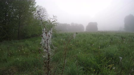 spinneweb : Herfst val ochtend mist in weide en wind in dewy spinnenweb, time-lapse Stockvideo