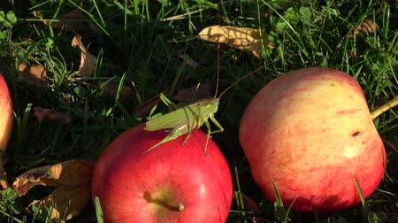 grasshopper : Beautiful green grasshopper Tettigonia viridissima on red apple in autumn garden on grass