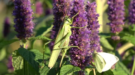 опылять : Green grasshopper Tettigonia viridissima and cabbage butterfly  on blossoming medical herb anise hyssop flower