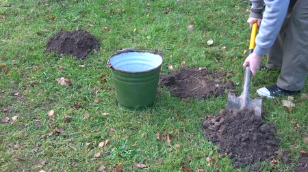 mole : Gardener removing with shovel mole molehills on lawn with autumn leaves