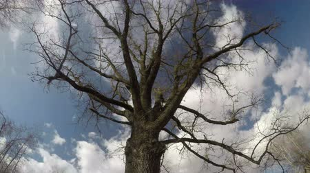 dead wood : Seasonal leafless old oak  and sky white clouds motion in wind