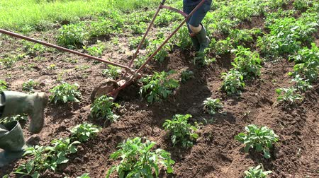 tırmık : Two gardeners in small field plowing potato with manual plow in summer