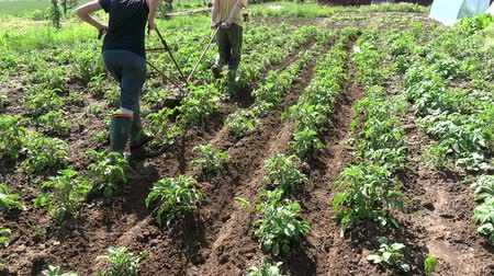 primeval : Gardeners in small field plowing potato with manual plow