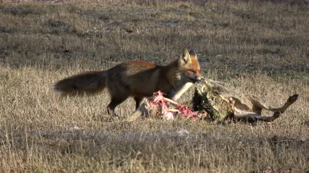 scavenger : beautiful animal red fox Vulpes eating  roe deer carrion meat on spring field