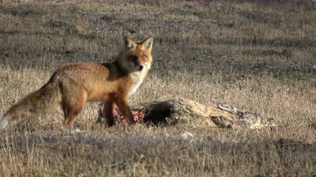 лиса : wild animal red fox Vulpes eating  roe deer carrion on  field