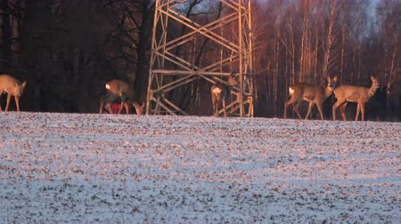 jikry : Roe deer Capreolus group on agriculture winter field near electricity tower