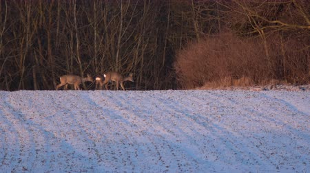 deer : Roe deer group on winter time agriculture field and bushes