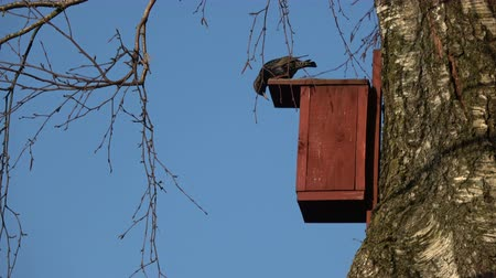 starling : Starling Sturnus vulgaris and red wooden bird house in spring on tree Stock Footage