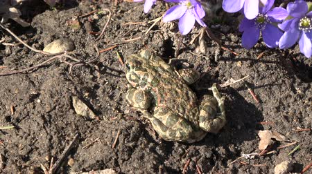 žába : European green toad Bufo viridis in early spring near blossoming hepatica flowers and bee