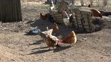 csaj : Chickens  and cock rooster in farm