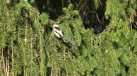 passerine bird : Beautiful Long-tailed tit Aegithalos caudatus building nest in fir branch in spring