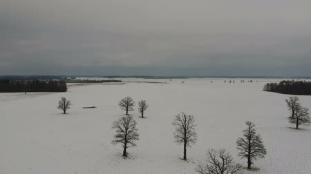 oak : Winter field with old majestic oaks group on snow, aerial view